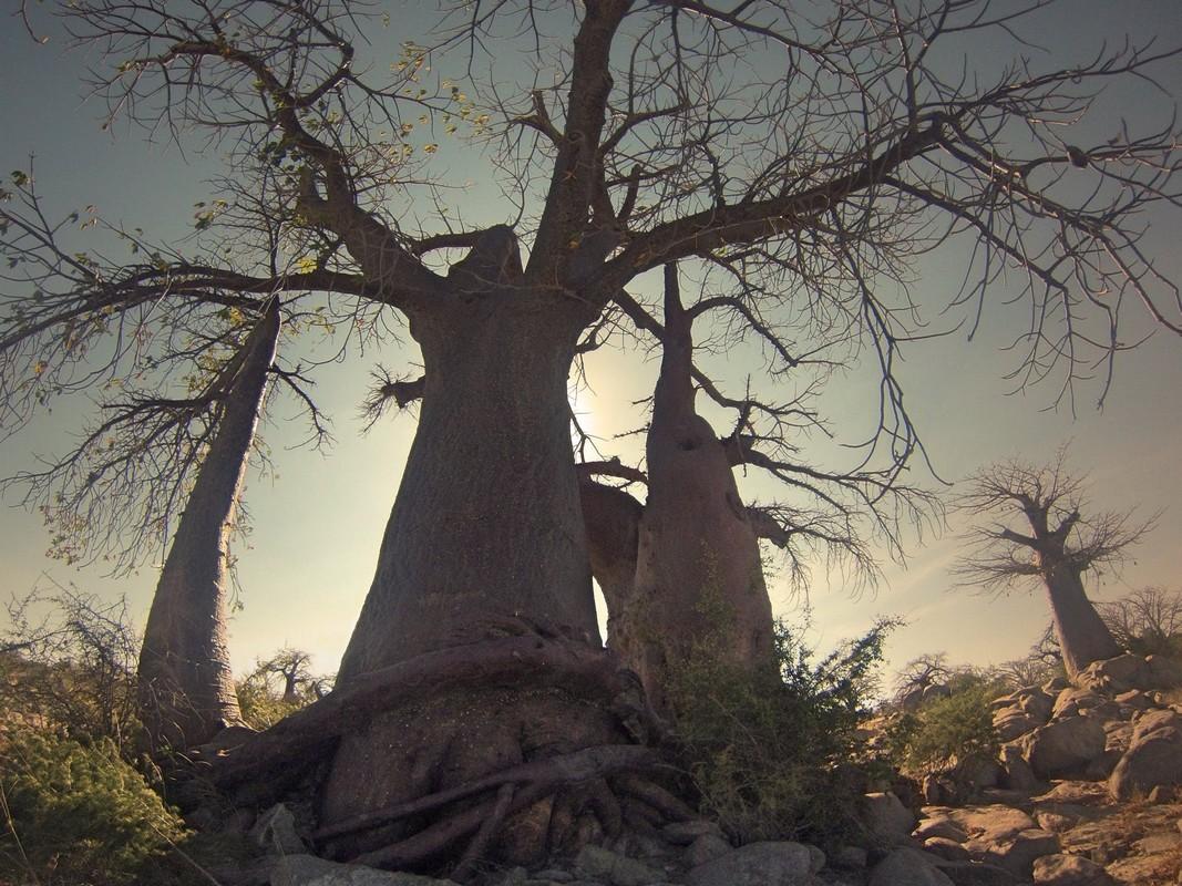 Baobab PhotoCredit Mariette de Villiers