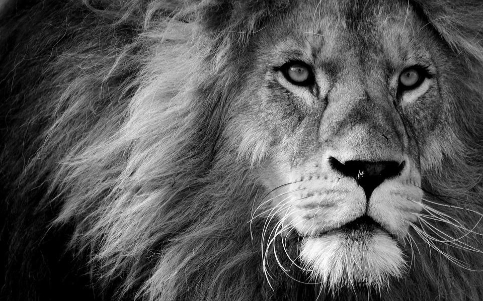 Il Leone Bianco Pht pixabay.org