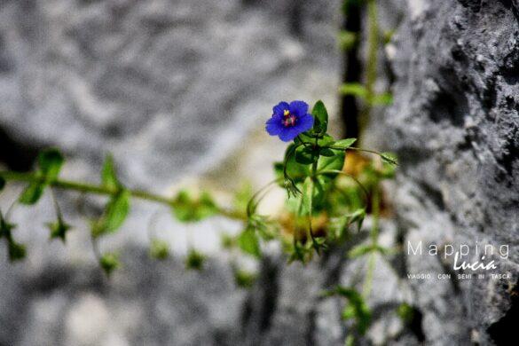 Fiorellino blu PhotoCredit MappingLucia