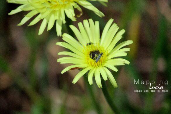 Margherite PhotoCredit MappingLucia